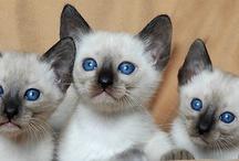 AWE! / I love Siamese cats!