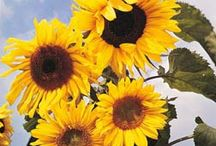 Year of the Sunflower / Year of the Sunflower 2015