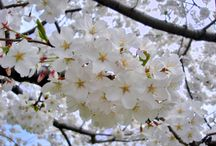 Spring - Japanese gardens in USA and Canada