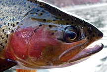 CUTBOW / A few pictures of fly fishing for cutbows.  Cutbows on the fly.