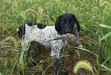 Vorsteh/German Shorthaired Pointer / Vorsteh ( German Shorthaired Pointer )