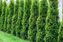 Thuja Green Giant Trees