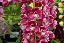 Cium orchids