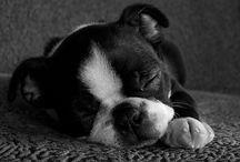 Puppy / Boston terrier - Love