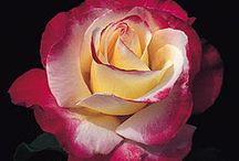 Roses / by Chris C