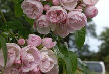 Roser og prydbusker