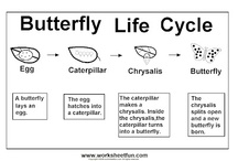 Butterfly Life Cycle / www.worksheetfun.com/category/science-2/life-cycle/ / by www.worksheetfun .com