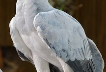 Order Accipitriformes. / Hawks, Eagles, Vultures, Secretary Birds, Osprey.