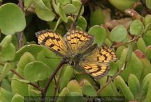 COMMON COPPER BUTTERFLIES NZ
