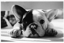 bulldog ♥