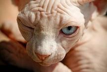 Sphynx Cat's