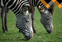 Spotted Zebras of the Sister Herd!!!! / by BarBara Whorley Crawford