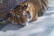 Tiger therapy / Big Cats