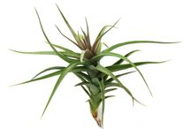 Air Plants/Tillandsias / by Josh's Frogs