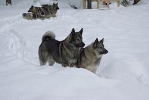 Norwegian elkhounds kennels