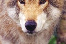 Wolves / I love wolves so much! If you do comment and like