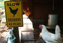 All Things Chicken.... / Working out my chicken obsession on Pinterest.