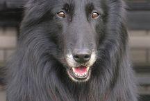 Belgian Groenendael Dogs