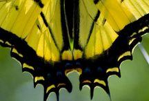 Bufferfly