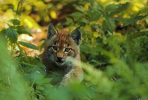 Lynx references