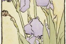 Z Kosatce 3 iris