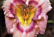 daylilies / by Nicole Bull