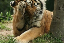 Save Tigers / by Ranthambore National Park