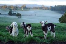 Goat (Love)