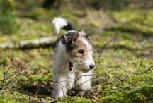 My Wire Fox Terrier - Weenie / Pretty WFT puppy