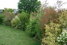 siepi giardino