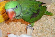 Ručno hranjeni papagaji.