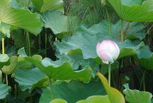 Plante Feng-Shui des Jardins d'Eau