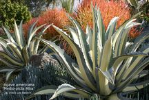 Agaves / One of favorite plants: stunning architecture, little to no water, and a little bit evil.