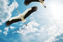 Storks / Gandrai