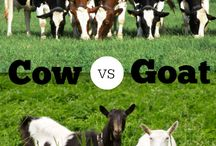 Livestock for Homesteading / Cows, sheep, goats & other wee farmyard critters