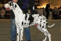 Beautiful great danes