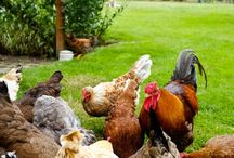 Chickens/ducks / Fun, and good food storage. / by Emma Wright