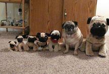 Pugs.. love em:)