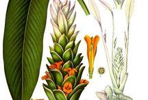 Herbs / Medicinal and culinary herbs