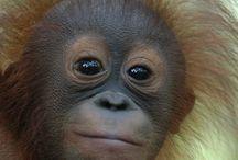 Orangutans / by Tina Klonaris-Robinson