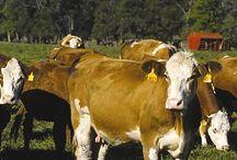 Les origines / On nous parle souvent de la maturation d'une viande (dry ou wet aged meat), mais on oublie de dire que la qualité d'une viande vient avant tout de la race de celle-ci...