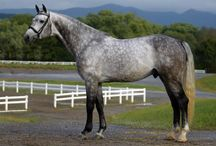 Cicera's Icewater / Approved stallion by Corofino/Cor de la Bryere/ Liguster from stamm 474a. AHHA, Gov, RPSI