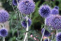 Blauw bloeiende planten