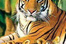 Zaidi's Tigers