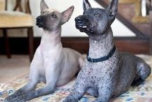 Hairless dogs / Hairless dogs