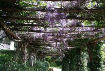 wisteria and bouganville