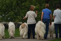 Great Pyrenees Dogs / About this wonderful breed. I owned one once but was not able to keep it. Am thinking of getting another one.