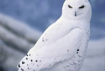 Owls / One of the coolest and most beautiful animals on earth