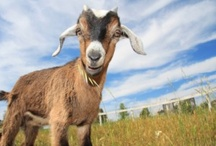 Raising goats / Tips and tricks