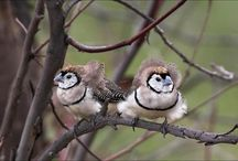 Sarah's Finches / by Carrie Gorst